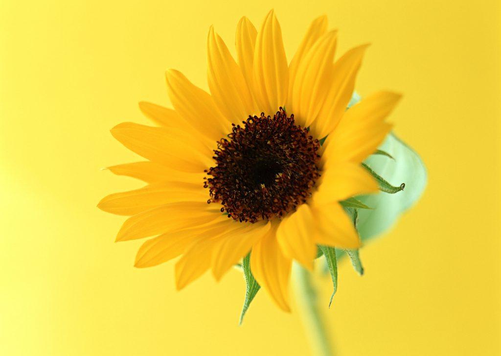 黄色いひまわりの写真
